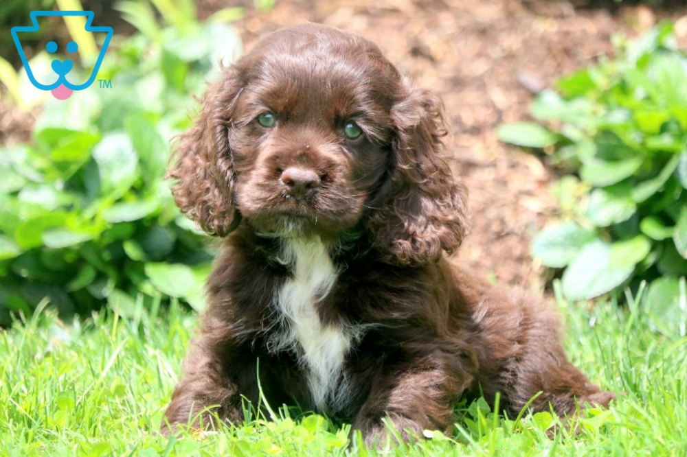Kylie Spaniel Puppies Cocker Spaniel Puppies Spaniel Puppies
