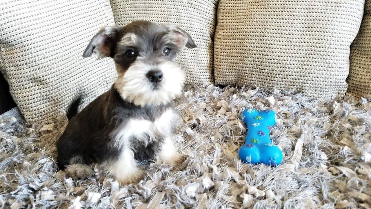 Miniature Schnauzer Puppies For Sale Thousand Oaks, CA