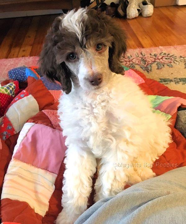Magenta Bay Poodles Monroe Ny 2019 Moyen Poodle Poodle Poodle Puppy