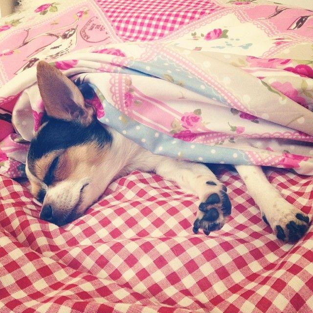 Chihuahua Dog Puppy Girl Billi Love Tired Home Viktoriasarina Bed Morning Chihuahua Welpen Victoria Und Sarina