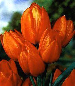 Class 16: Multiflowering Tulips