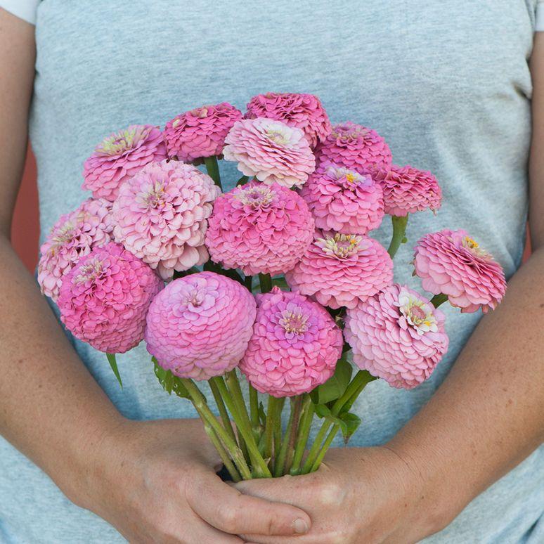 Oklahoma Pink Zinnia Seed Zinnias Flower Seeds Annual Flowers