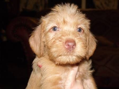 Cute Wirehaired Vizsla Puppy Wirehaired Vizsla Cute Baby