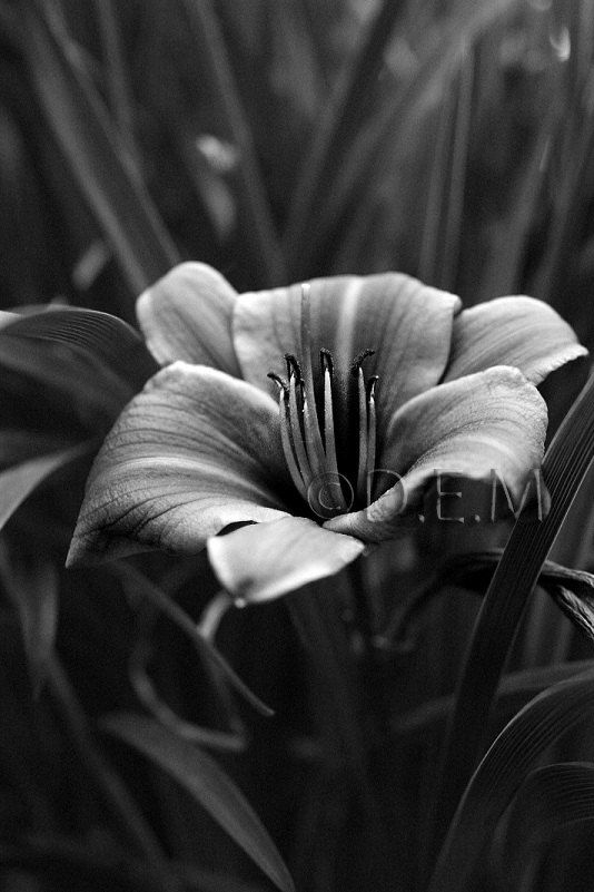 Black and white flower fine art photography nature by demstudio black and white flower fine art photography nature by demstudio 3500 voltagebd Images