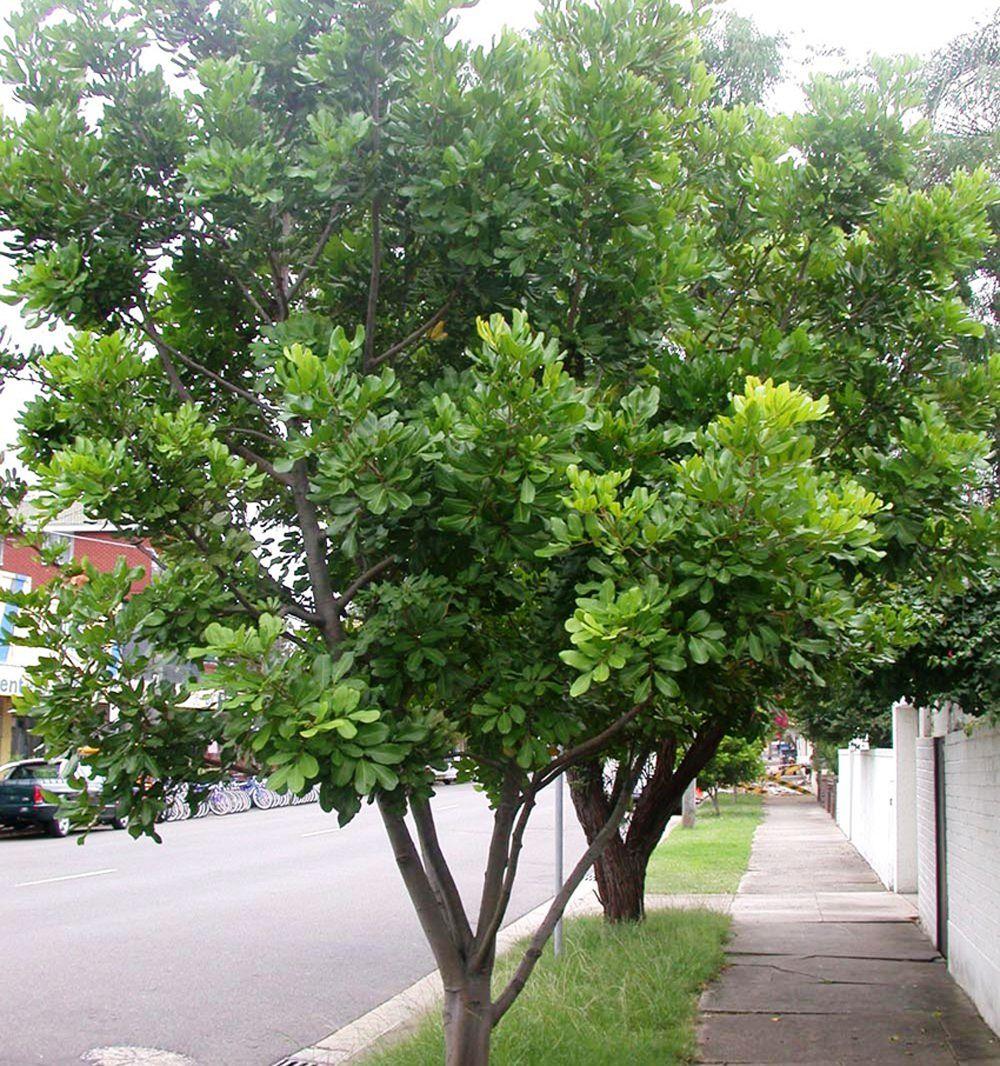 Trees For Small Backyard: Cupaniopsis Anacardioides. Tuckeroo. 8m High