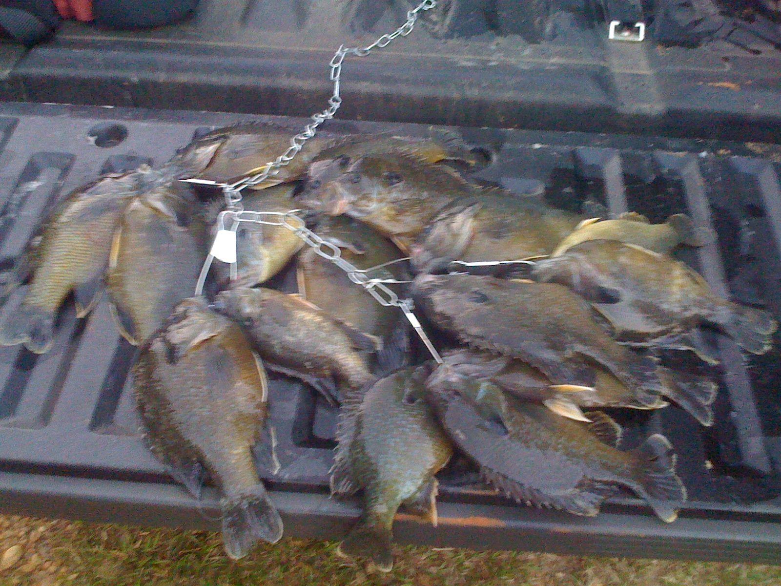 Freshwater fish bream - Fish Pics For Freshwater Bream Fish