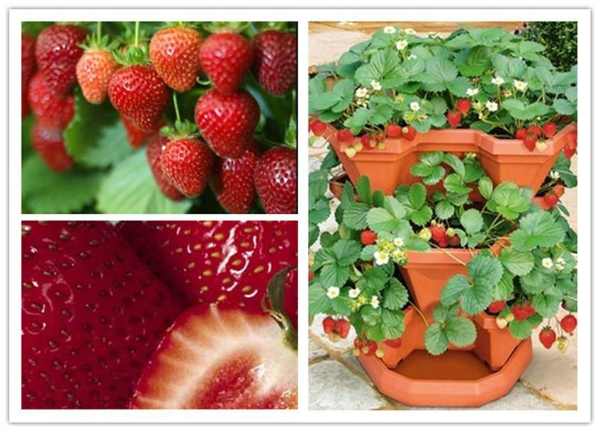 DIY Strawberry Plants in a Pocket | UsefulDIY.com Follow Us on ... on loganberry plants, fig plants, cucumber plants, tomato plants, pomegranate plants, apricot plants, garden carrots, grape plants, pumpkin plants, garden plant protection from animals, garden cucumber, food plants, watermelon plants, blackberry plants, raspberry plants, blueberry plants, berry plants, black pepper plants, garden onion plants, almond plants,