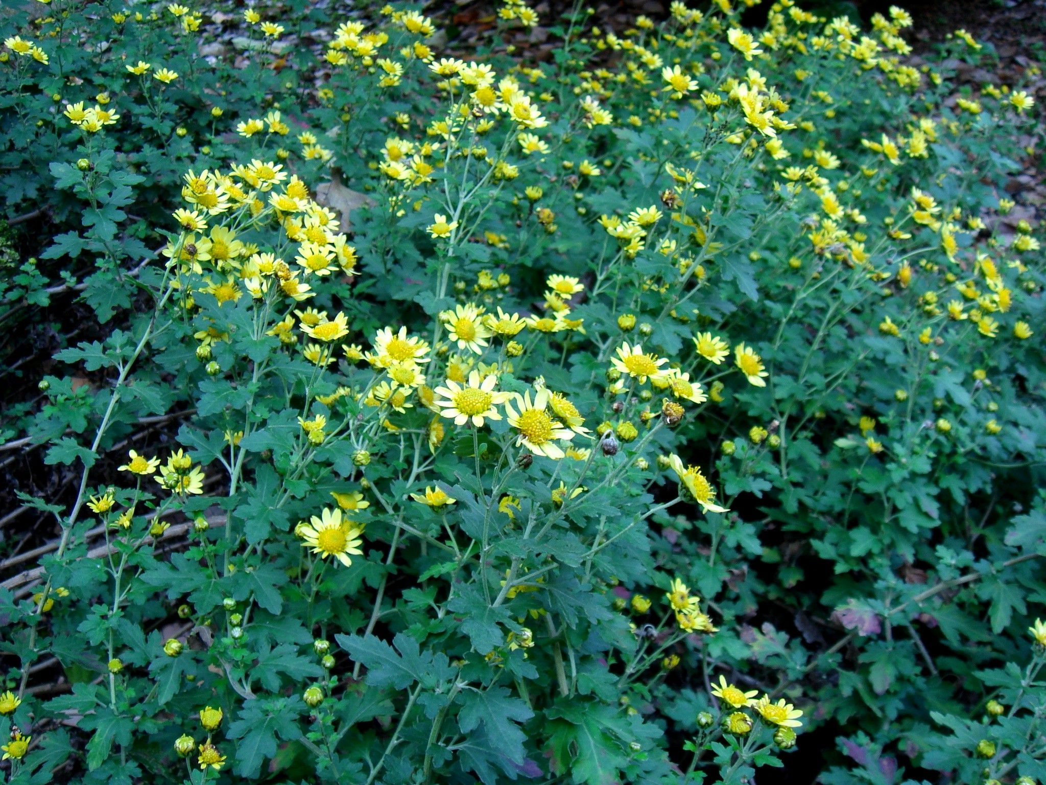 Berühmt Chrysanthemum | Chrysanthemum indicum L. | Mom's Garden @RD_55