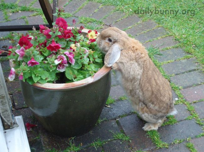 Bunny has found the flowers and will help herself - June 20, 2014 - More at the link: http://dailybunny.org/2014/06/20/bunny-has-found-the-flowers-and-will-help-herself/ !