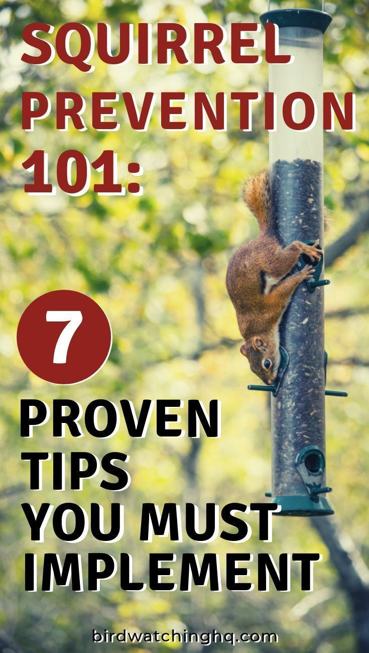 8 Effective Ways To Keep Squirrels Off Your Bird Feeders (2020) is part of Squirrel proof bird feeders, Bird feeder poles, Bird feeders, Humming bird feeders, Backyard birds feeders, Get rid of squirrels - Learn the 8 tips that deter, repel, prevent, and stop squirrels from climbing on your bird feeders! Did you know there are foods that squirrels won't eat