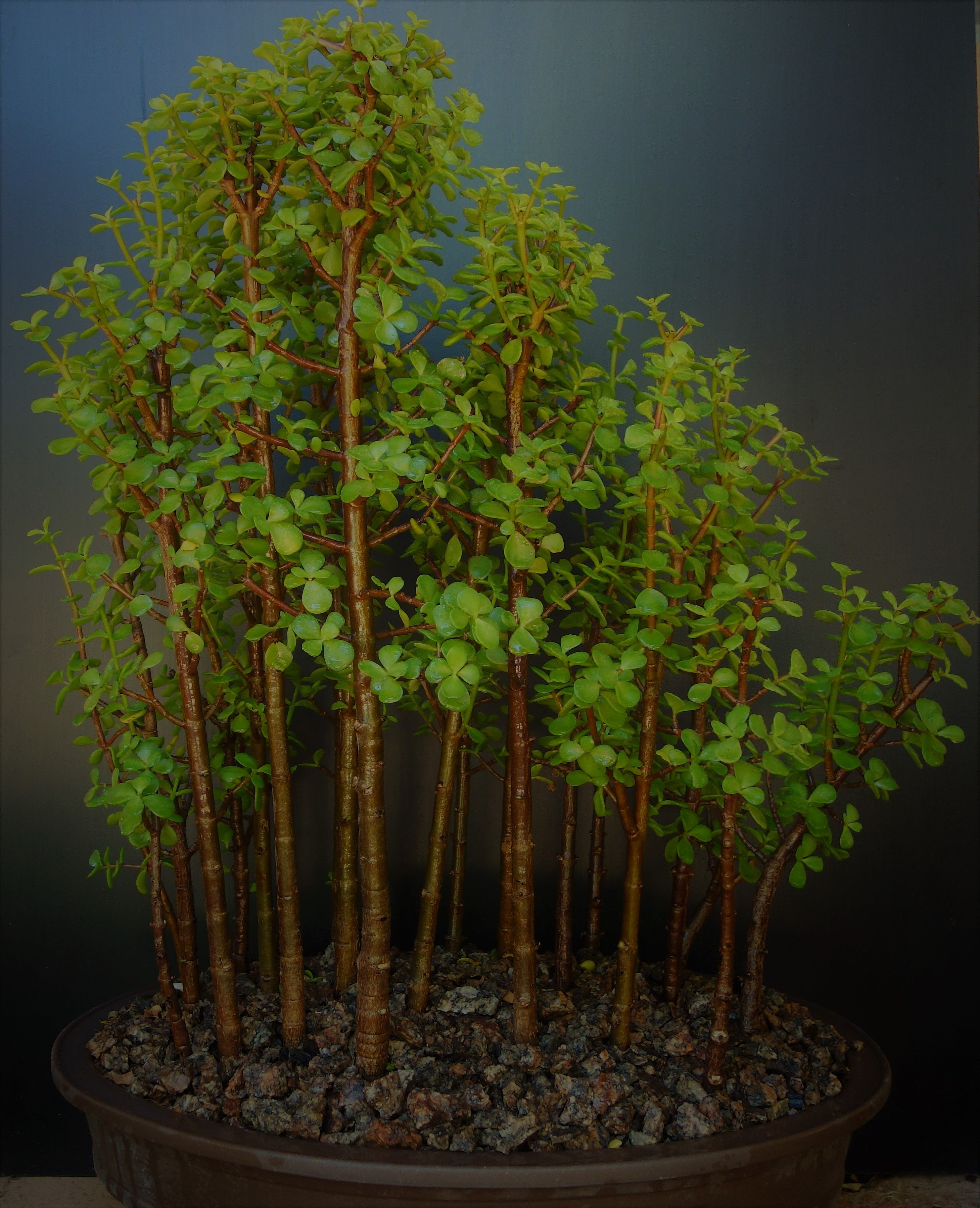 Portulacaria afra in the style of a regrowth forest | jade plant