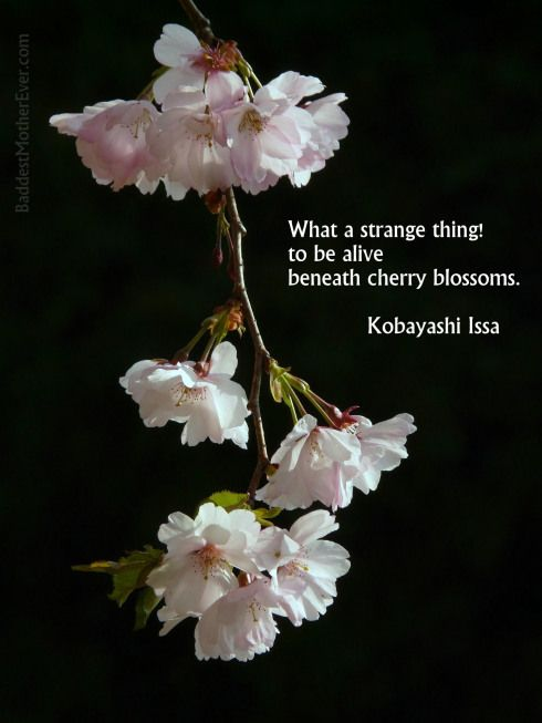 Baddest Mother Ever Cherry Blossom Quotes Cherry Blossom Cherry Blossom Flowers