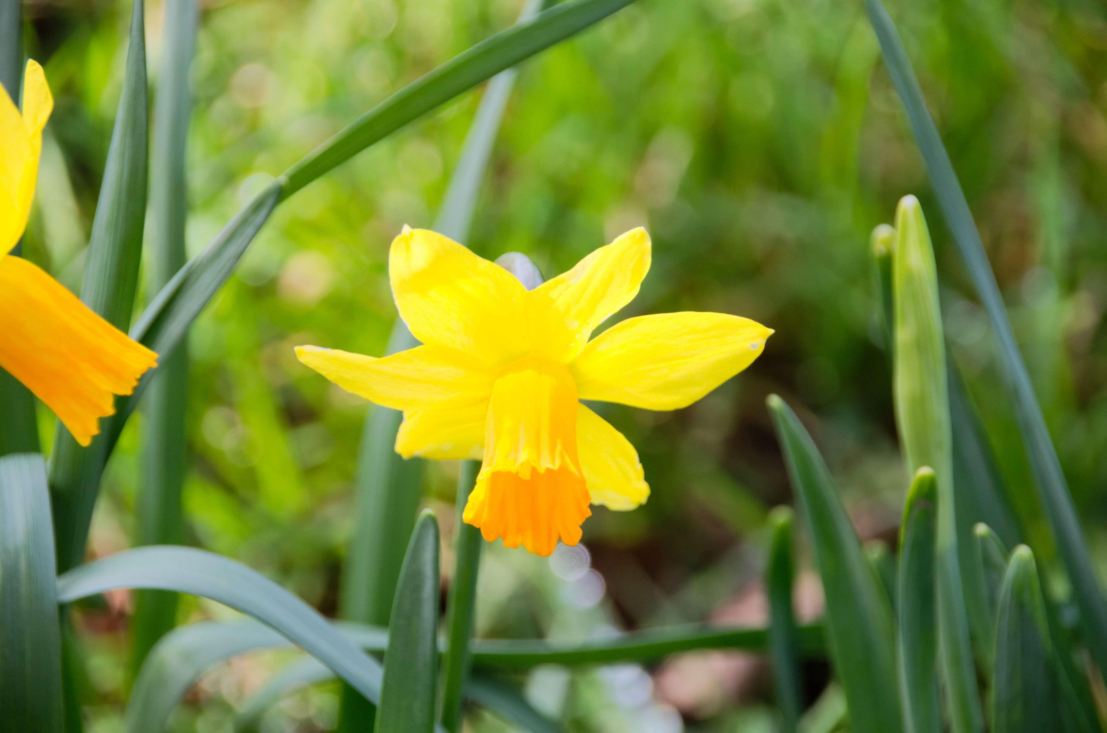 botanique fleur fleur jaune floraison flore jonquille jonquille jaune - Fleur Jonquille