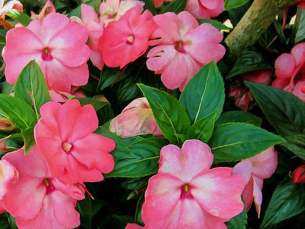 I uploaded new artwork to fineartamerica.com! - 'Pink Impatiens Flower' - http://fineartamerica.com/featured/pink-impatiens-flower-lanjee-chee.html