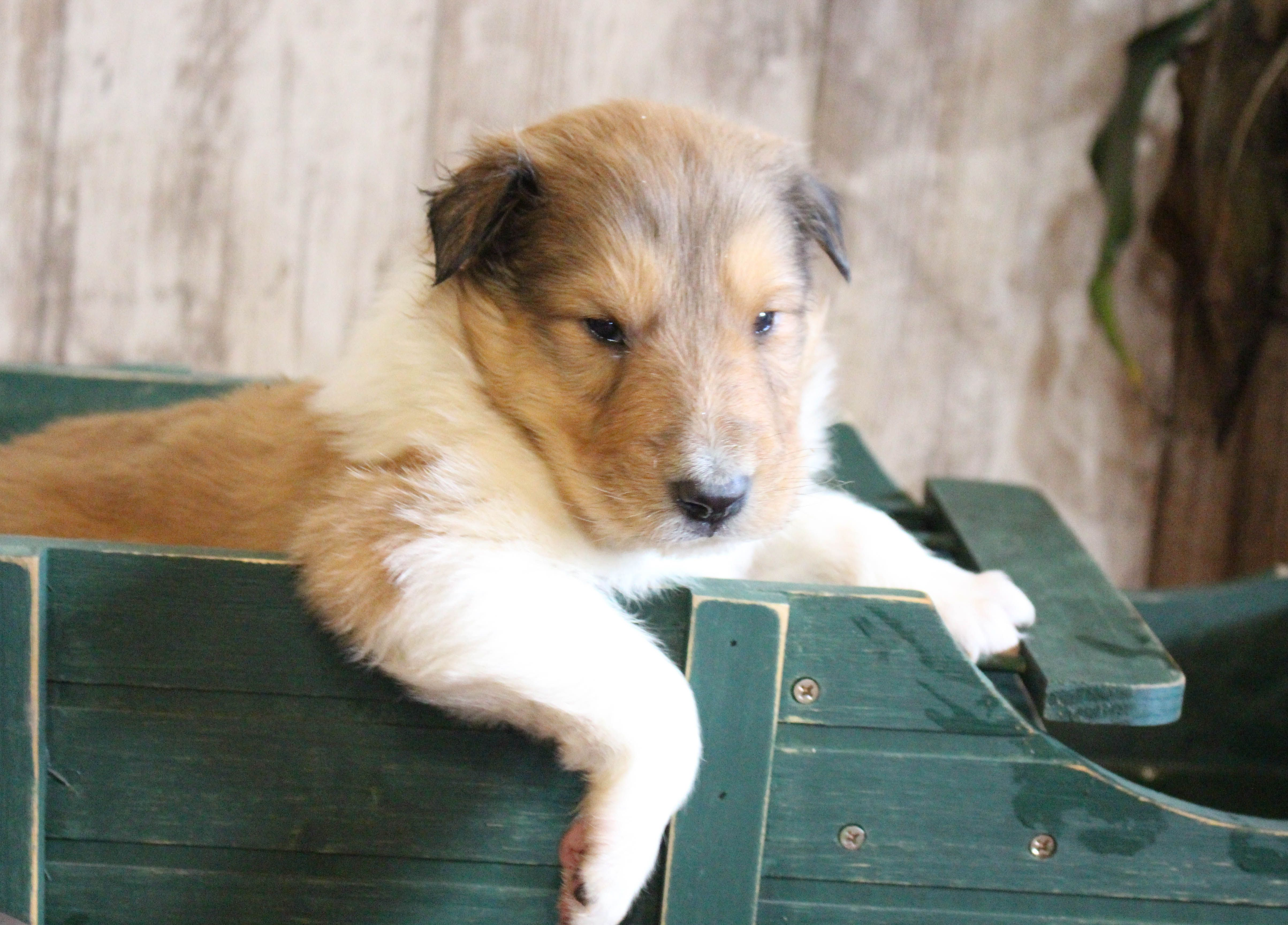 Mitch male Collie pup for sale at New Haven, Indiana
