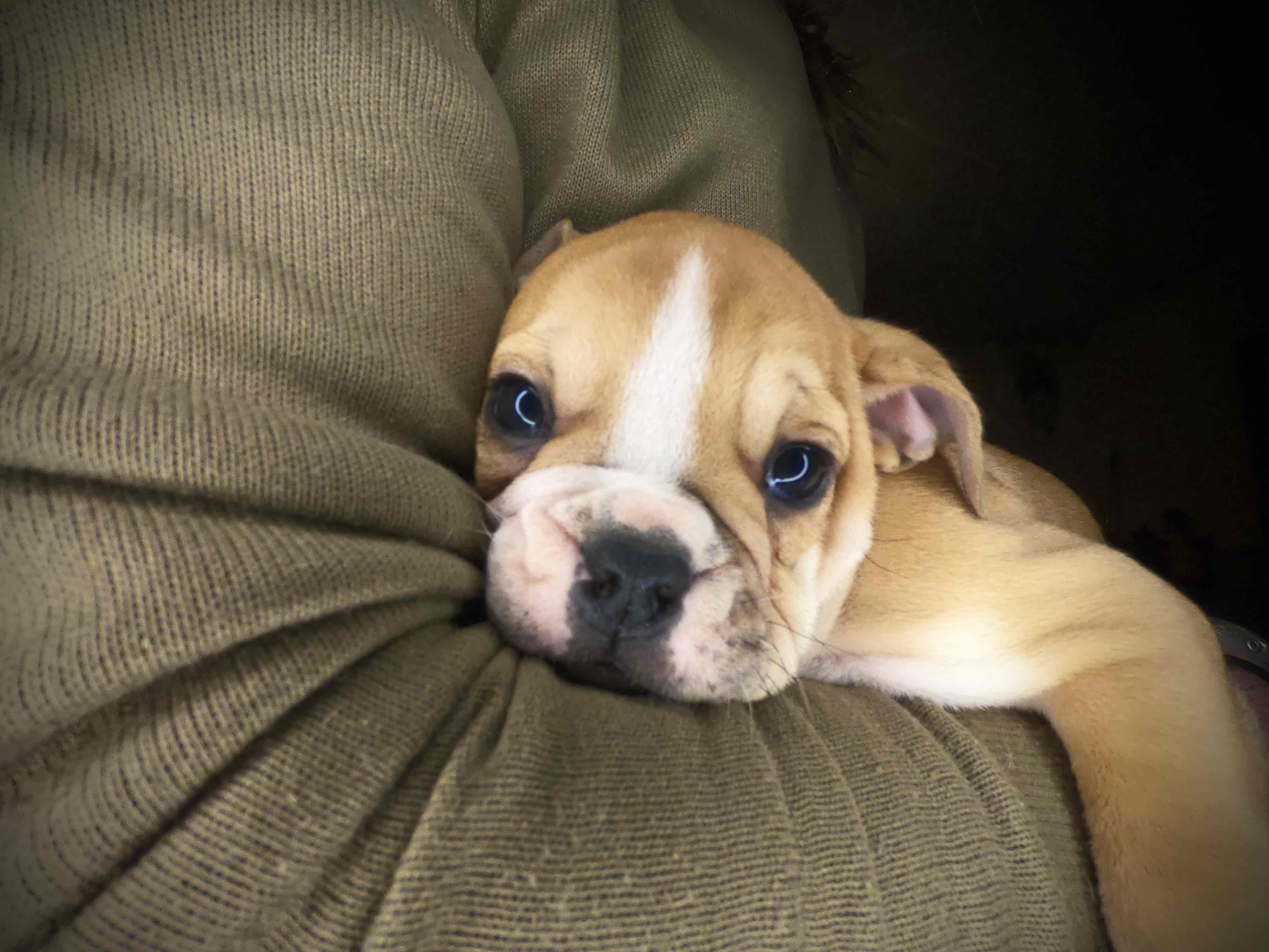 Ap Zinka Smallest Girl Of The Zs Its Cold Today So She Has To Stay Inside In 2020 Continental Bulldog Bulldogge Englische Bulldogge