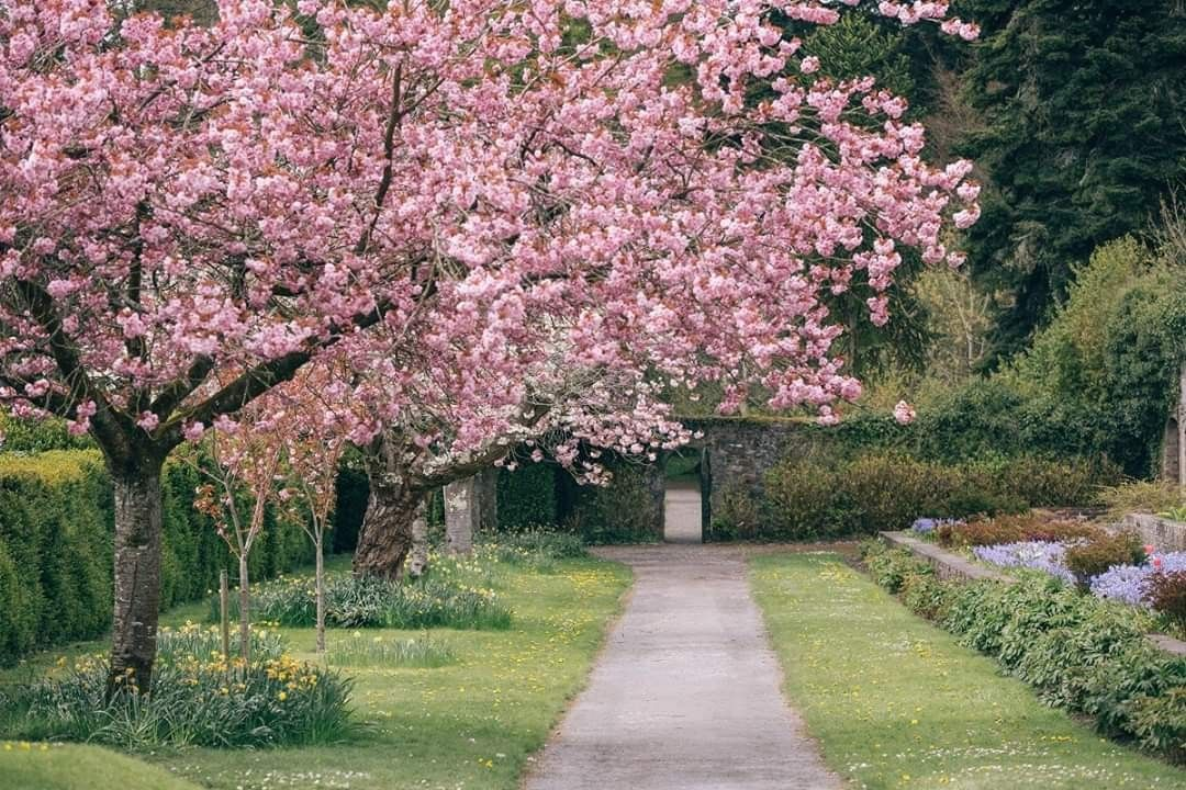 Gardens At Birr Castle County Offaly County Offaly Cherry Blossom Tree Castle
