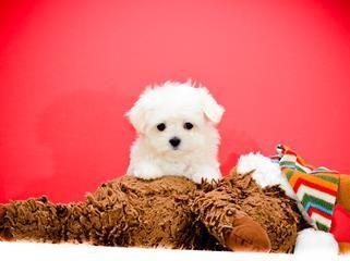Micro Teacup Faith Is Our Maltese Puppy For Sale Maltese