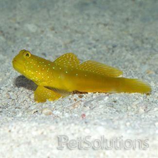 Yellow Watchman Goby In 2020 Saltwater Aquarium Fish Reef Safe Fish Marine Fish