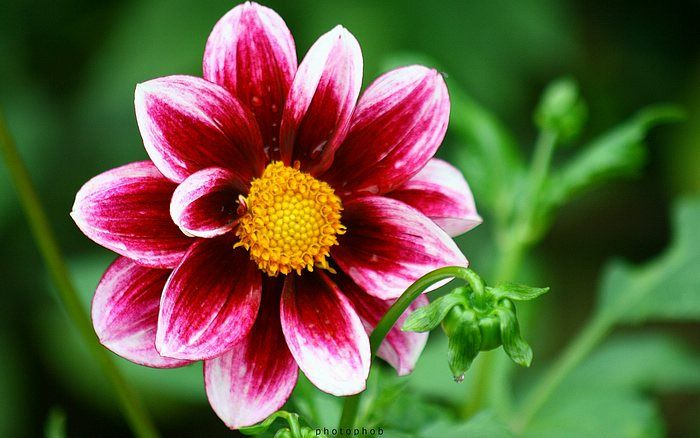 Beautiful Dahlia Flowers Photography Beautiful Flowers Pictures Dahlia Flower Types Of Flowers