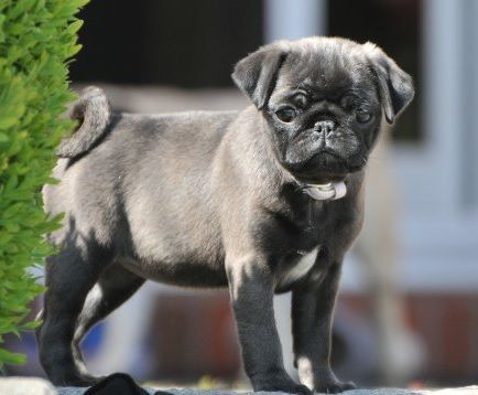 Cute Silver Pug Puppy Baby Pugs Pug Puppies Cute Pugs