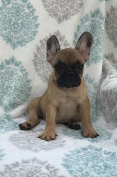 Litter Of 3 French Bulldog Puppies For Sale In Miami Fl Adn