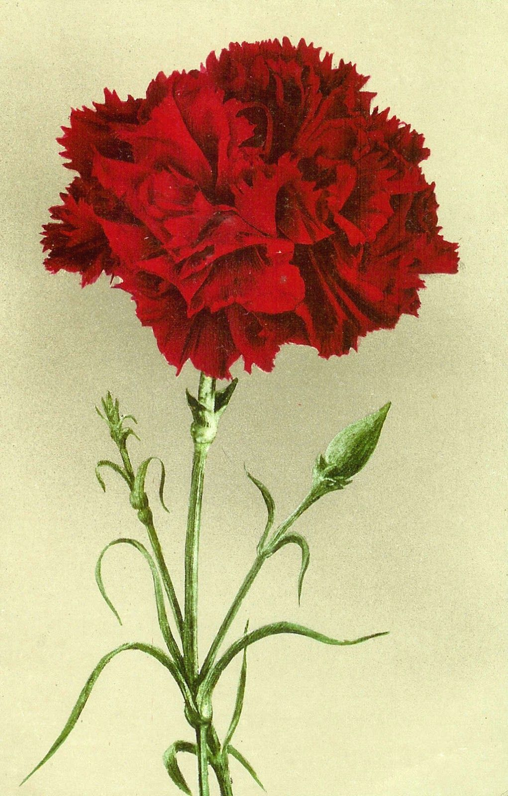 Vintage Flower Clip Art Vintage Graphic Of Red Carnation On