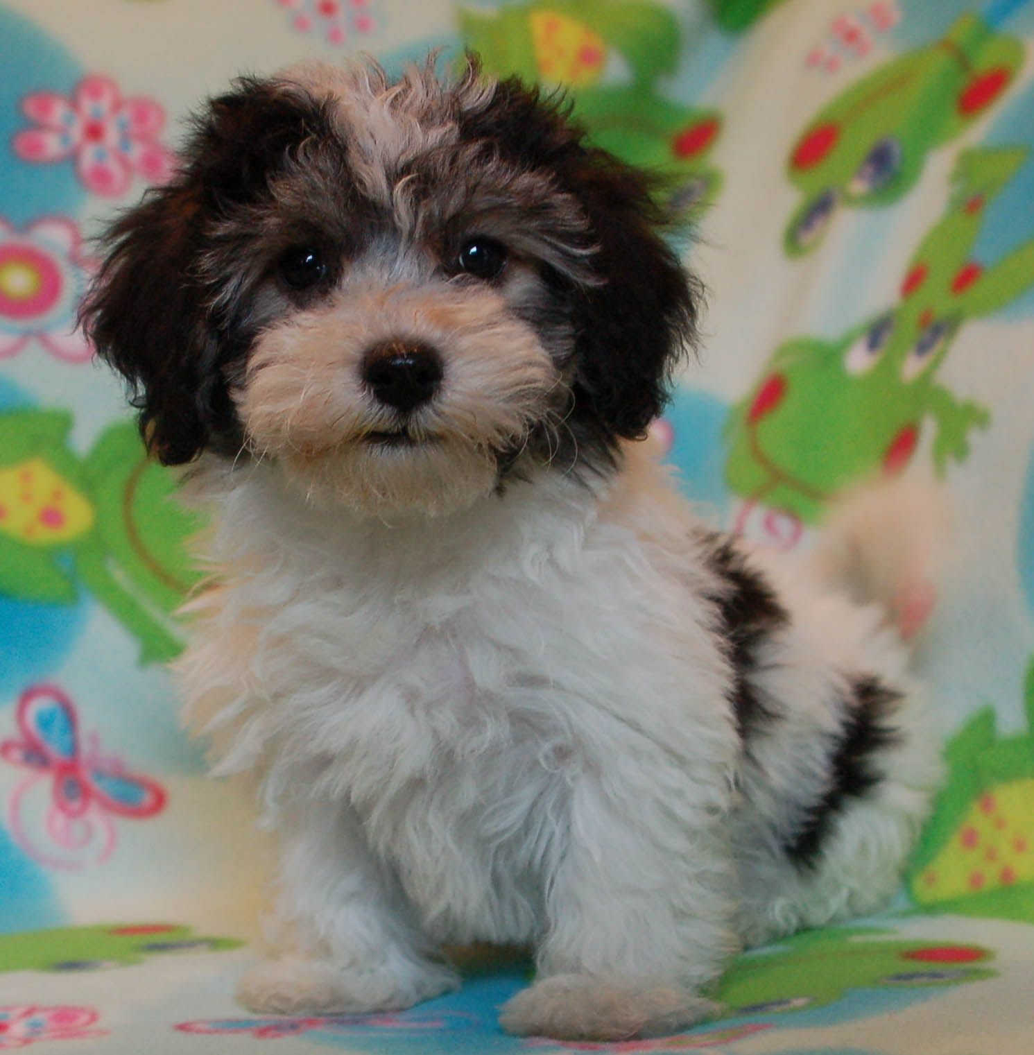 havanese, this is my next puppy!! So so darn cute and