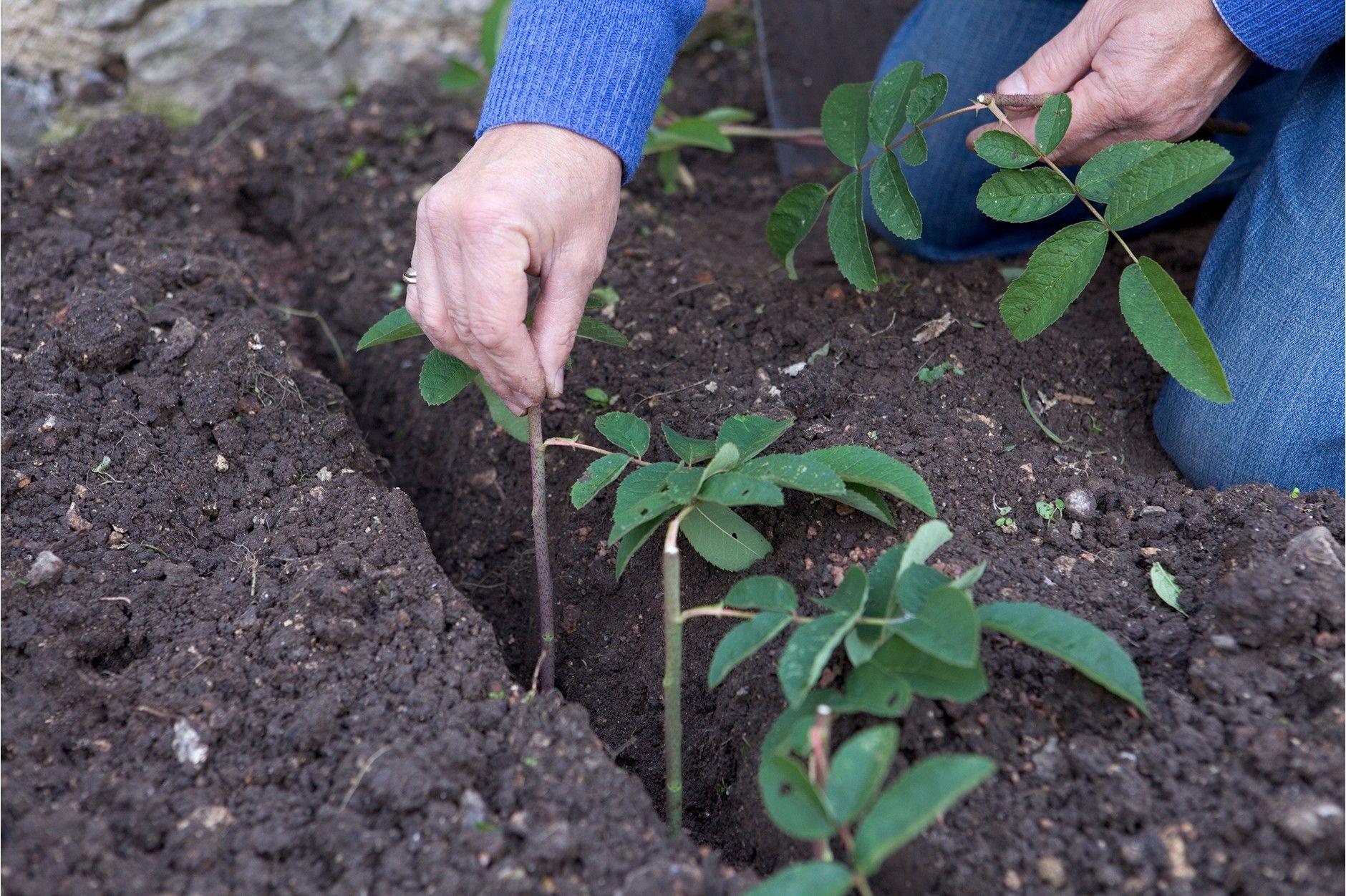 16+ When should you take rose cuttings info