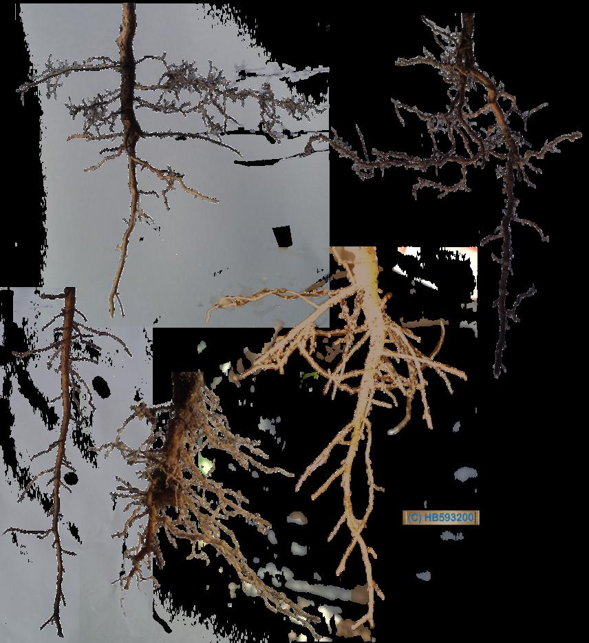 Root Stock Pack 001 By Hb593200 Deviantart Com On Deviantart Stock Pack Tree Roots Digital Artist