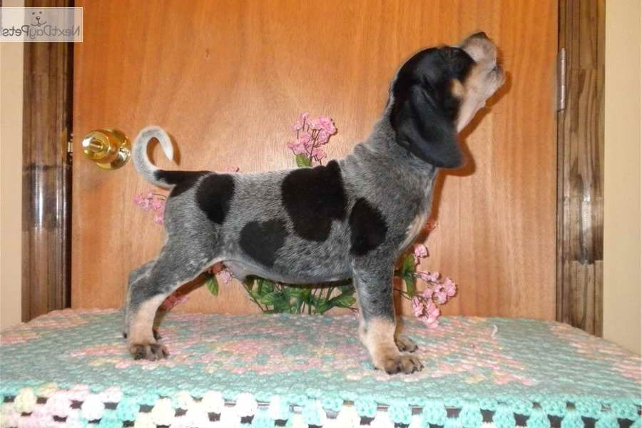 About Blue Tick Beagle Puppies For Sale In Pa