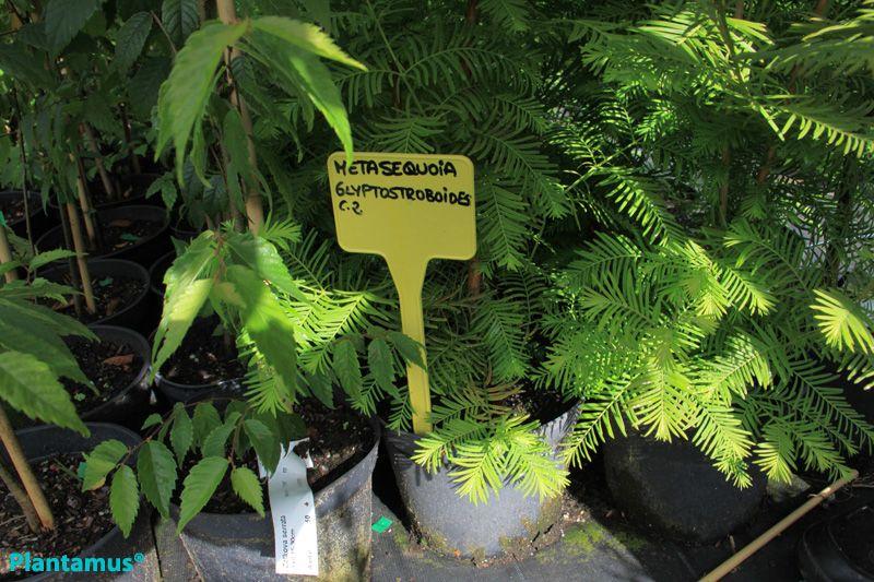 Metasequoia glyptostroboides, preciosa conífera con hojas caducas