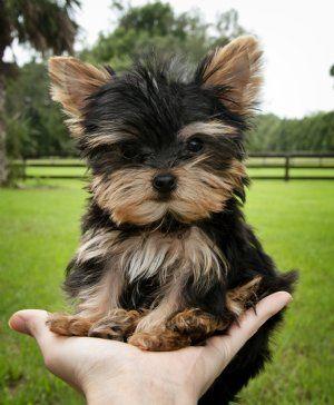 Cassie S Closet Yorkie Puppy Yorkshire Terrier Puppies Yorkshire Terrier Dog
