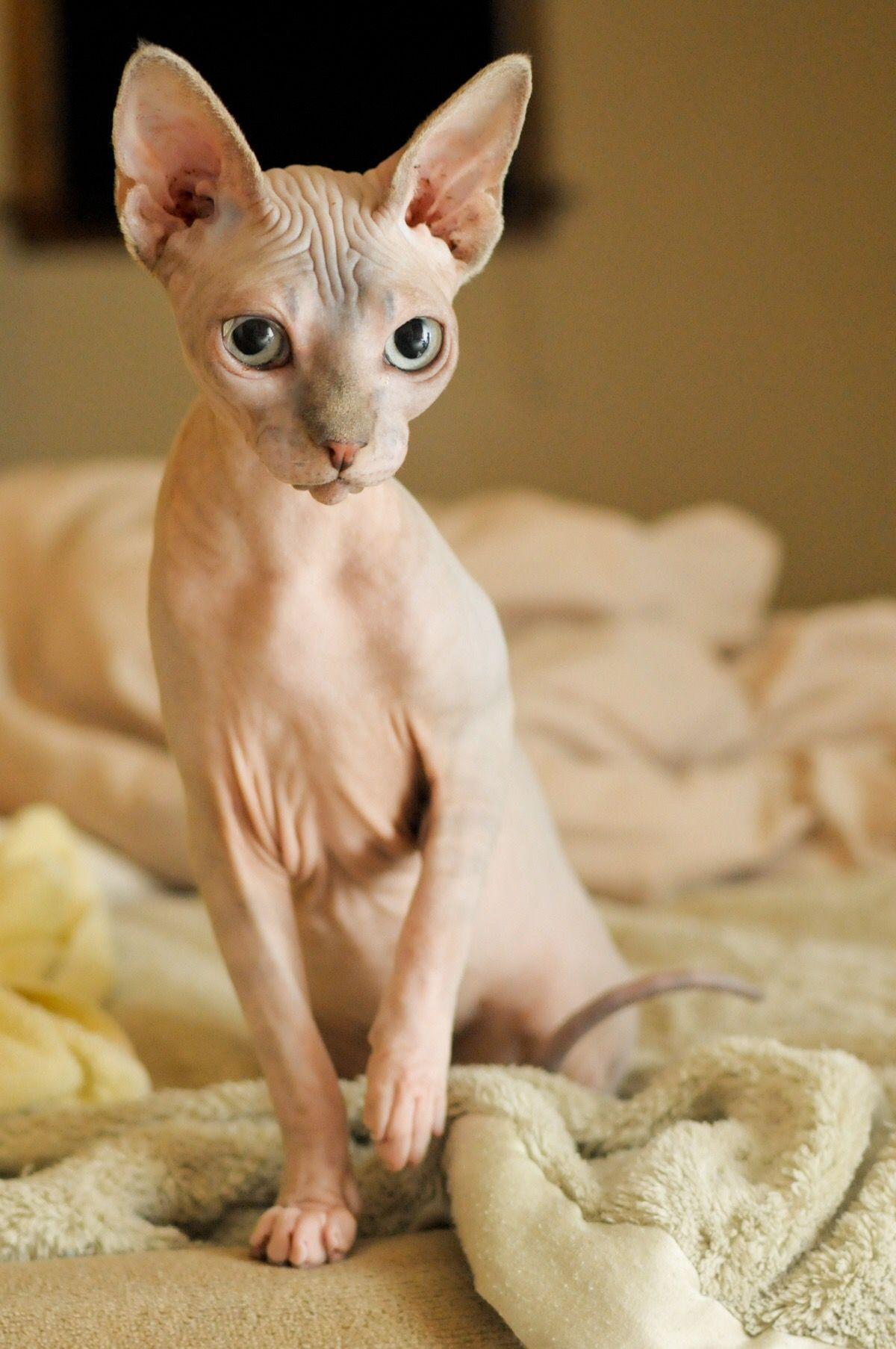Munchkin Sphynx Cat : munchkin, sphynx, MischiefManaged69, Miaauw, Popular, Breeds,, Cats,, Breeds