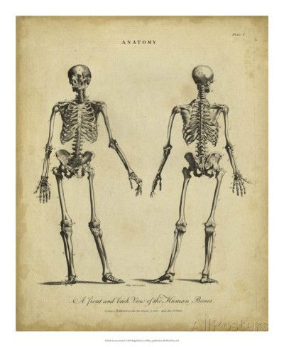 Anatomy Study I Posters by Jack Wilkes - AllPosters.ca | For the ...
