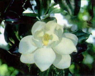 Louisiana State Flower Magnolia Usa Pride Pinterest