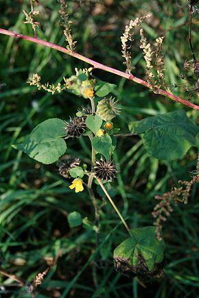 Abutilon theophrasti, appelé abutilon d'Avicenne, abutilon de Théophraste ou abutilon à fleurs jaunes, est une espèce de plantes herbacées annuelles de la famille des Malvaceae. Cette espèce cultivée pour ses fibres textiles produit de grandes quantités de graines et est surveillée pour son caractère invasif dans plusieurs pays ; elle a de plus démontré une action négative sur certaines cultures telles que le soja ou le maïs.
