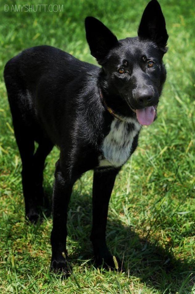 Adopt Sirius On German Shepherd Dogs Shepherd Dog Dogs