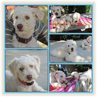 Anaheim, CA - Maltese/Poodle (Miniature) Mix. Meet Ernie, a dog for adoption. http://www.adoptapet.com/pet/14037497-anaheim-california-maltese-mix
