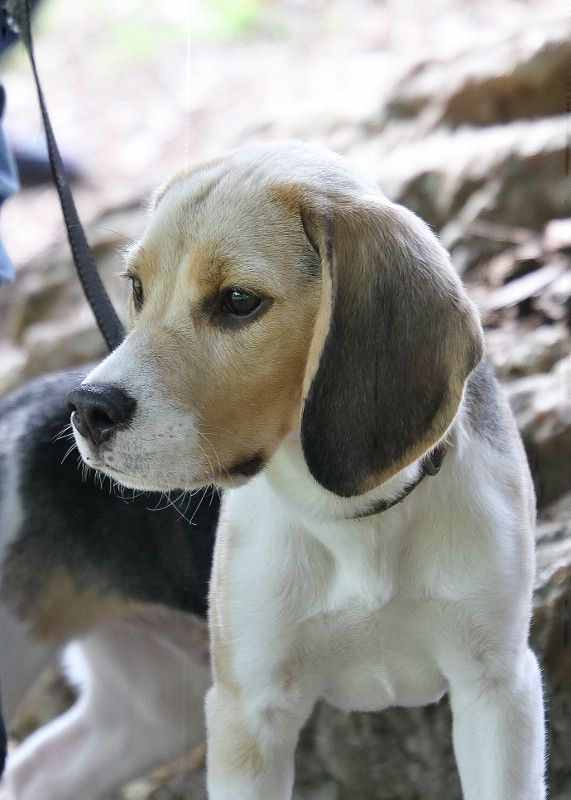 Beagles are awesome! Loyal and kind!