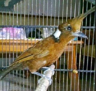 Cara Merawat Burung Cililin Agar Gacor dan Rajin Bunyi