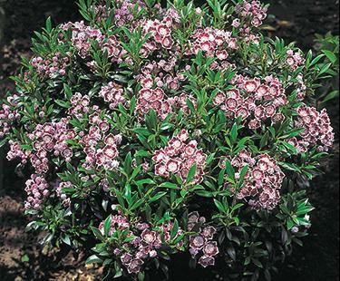 Minuet Mountain Laurel Laurier Des Montagnes Bloom Iq