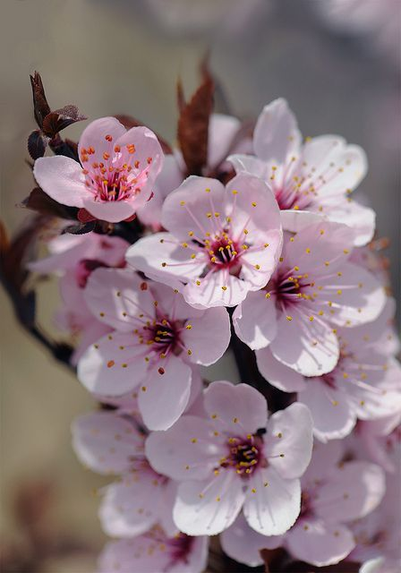 Spring blossoms Spring blossom, Spring and Beautiful flowers - cherry blossom animated
