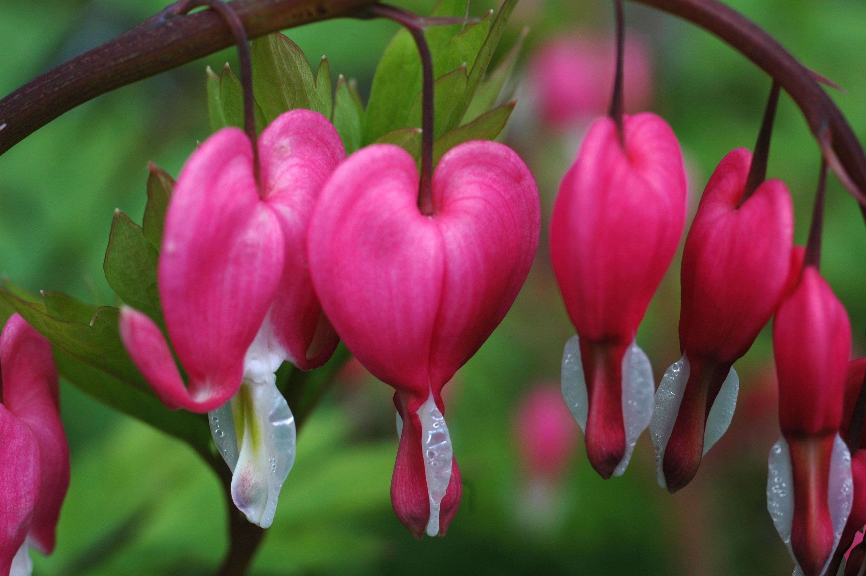 Bleeding Heart Flower Wallpaper Bleeding Heart Flower Wonderful Flowers Most Beautiful Flowers