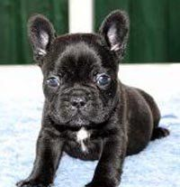 French Bullhuahua Puppies Are Cute Try Getting Them