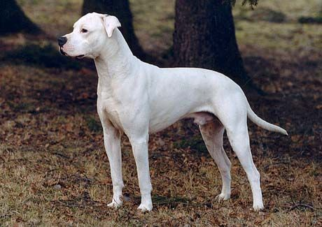 Dogo Argentino With Ears Dog Life Pet Paws Big Dogs