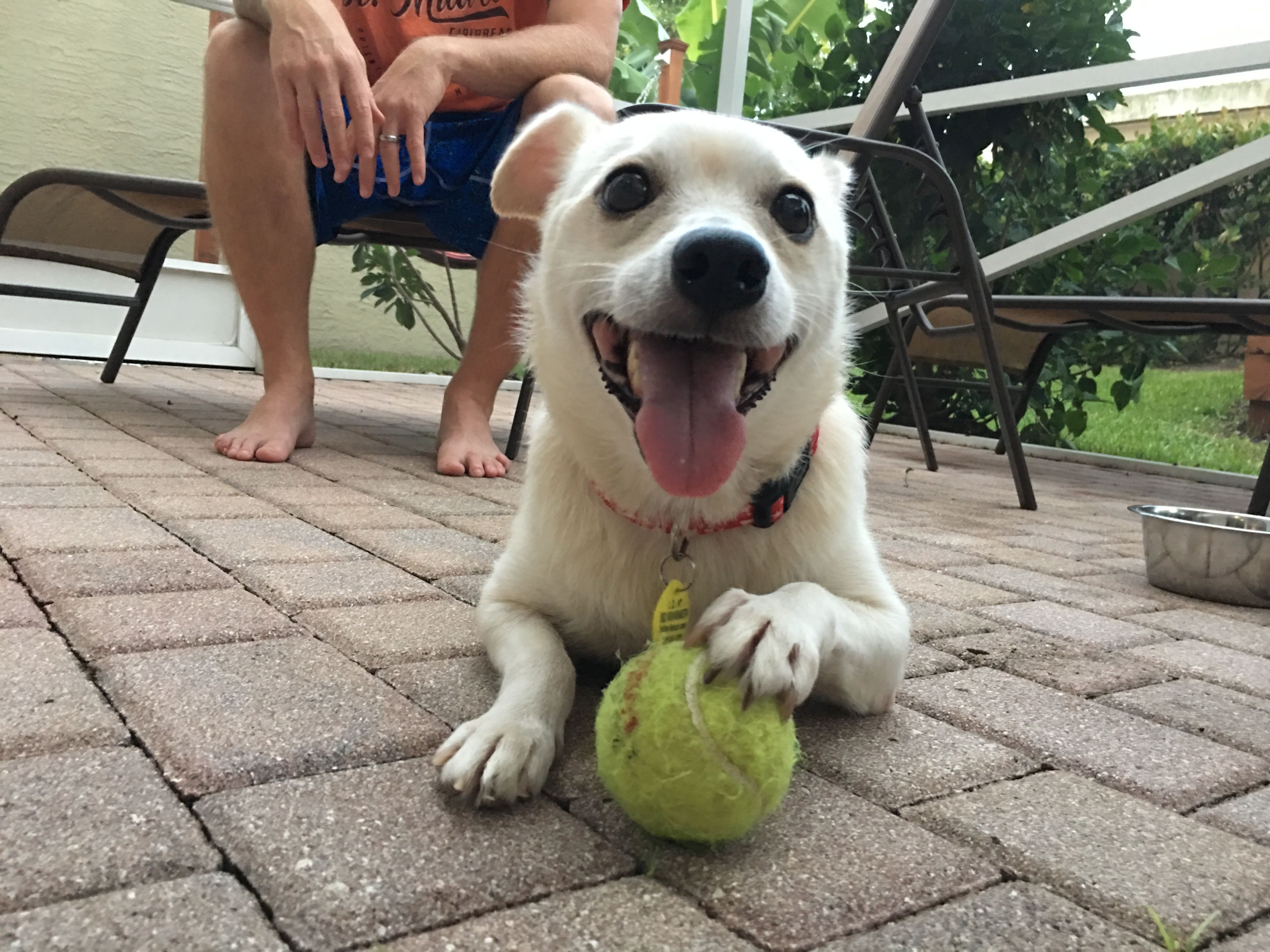 Chihuahua dog for Adoption in Royal Palm Beach, FL. ADN