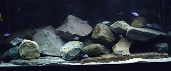 Image Result For African Cichlids Aquascaping Cichlid Aquarium African Cichlids African Cichlid Aquarium