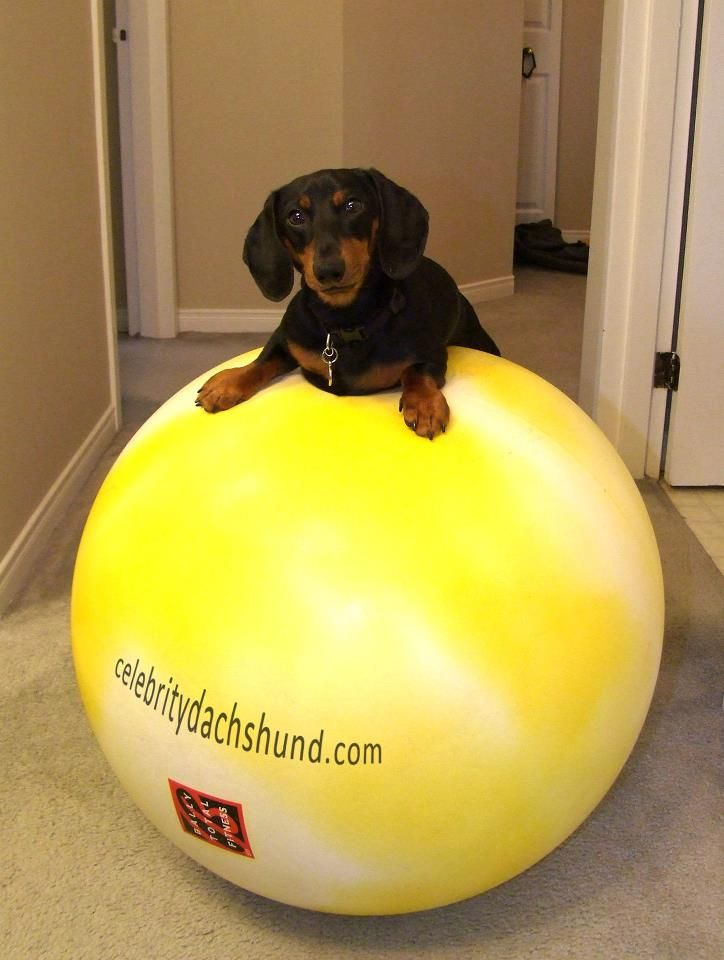 Workin The Core Weiner Dog Dachshund Weenie Dogs Dachshund Love