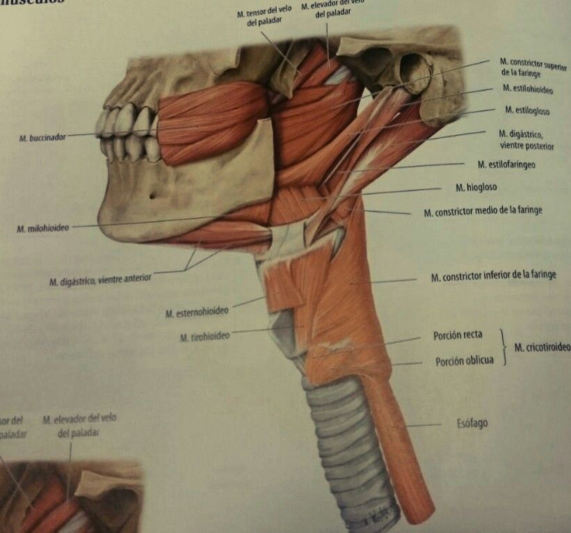 Prom. Músculos faringe,cuello,cara | Miofuncional | Pinterest